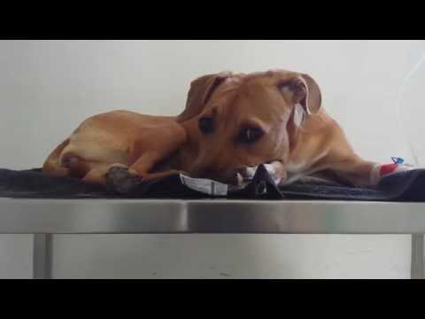 Puppy suffering from canine parvovirus