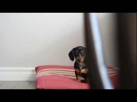 Cutest mini dachshund puppy!! This is ellie.