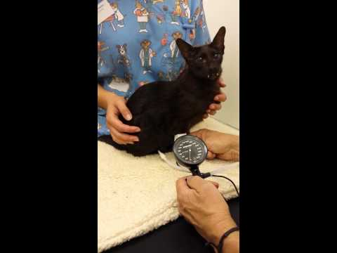 Systolic blood pressure with a cat+ doppler