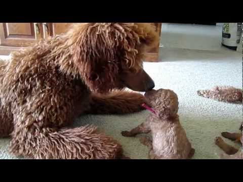 Red standard poodle puppies having fun playing