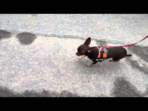 Chihuahua mit patellaluxation grad 2