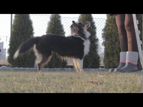 Chilli (shetland sheepdog) - 6 months