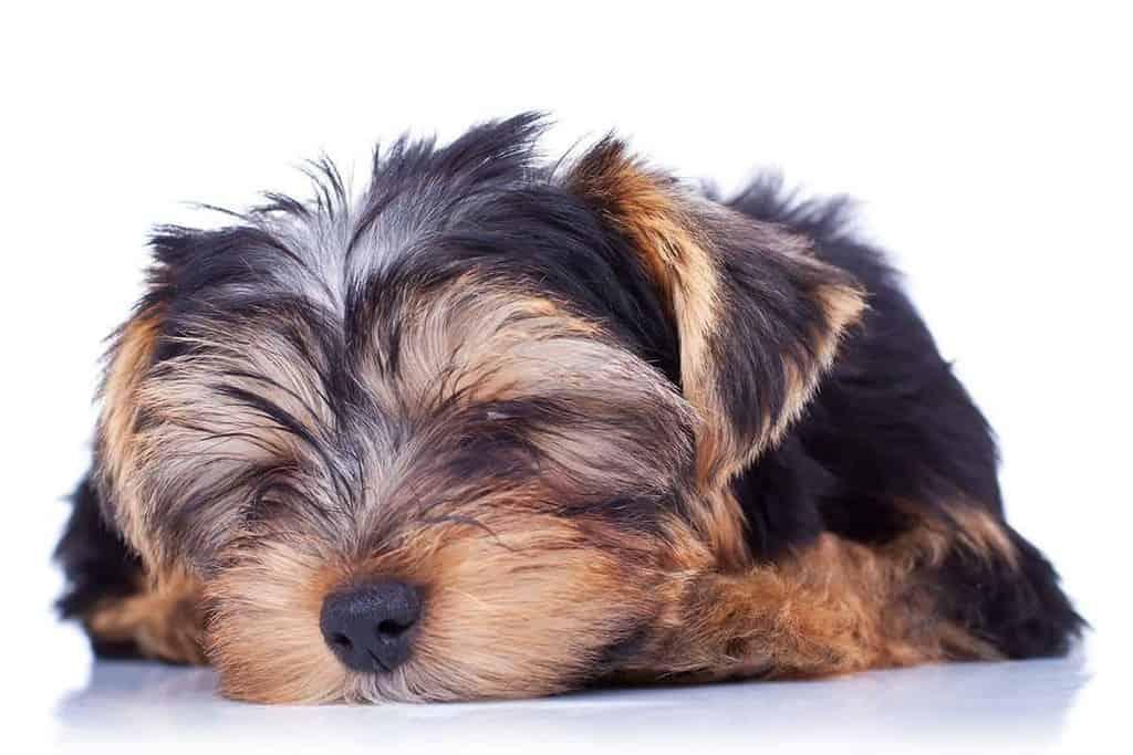 Zapadanie tchawicy u psa