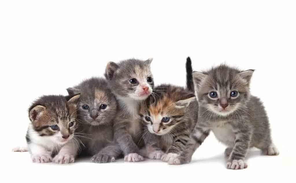 Koci katar objawy