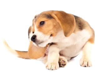 Pchły i kleszcze u psa