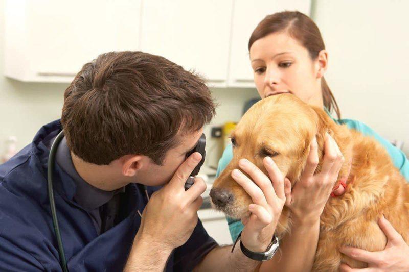 Ropa w oku psa: co oznacza i jakie krople użyć na ropiejące oczy u psa?