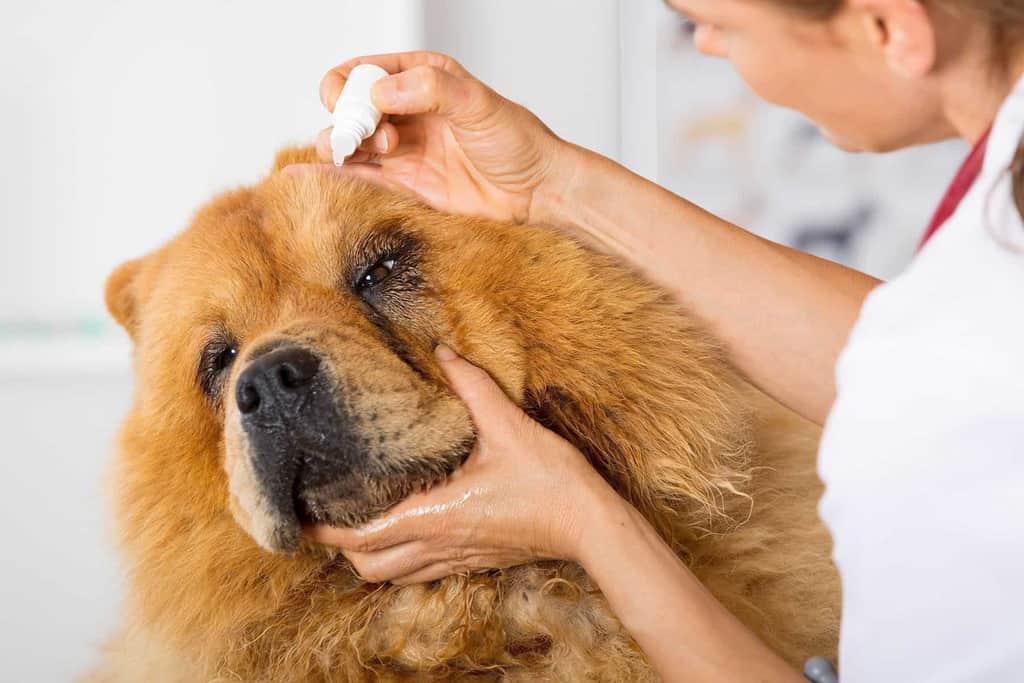 Ropa w oku psa