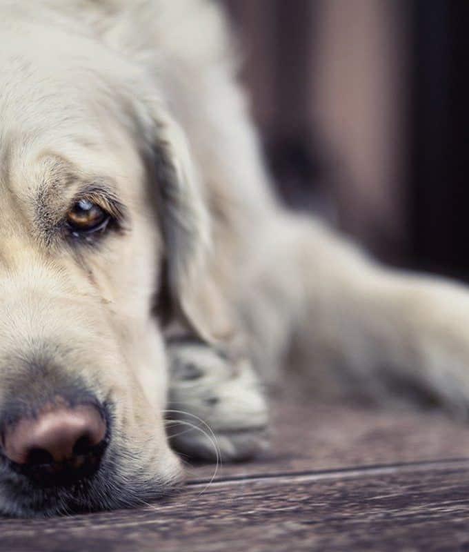 Niedoczynność tarczycy u psa