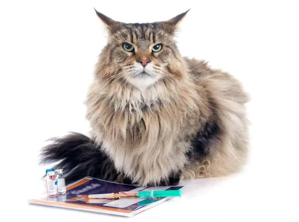 Chłoniak u kota - objawy i rokowania