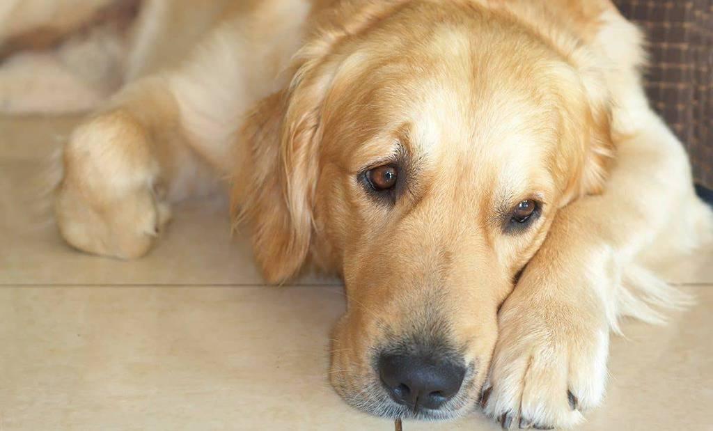 Babeszjoza u psa objawy