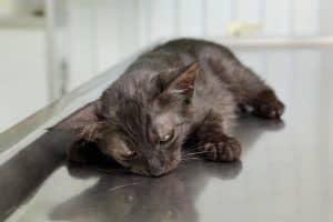 Robaki u kota i odrobaczanie kociaka: jak często odrobaczać kota?