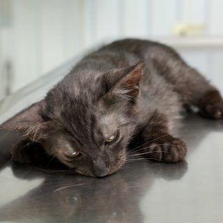 Robaki u kota i odrobaczanie zwierzaka