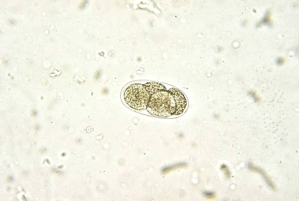 Tęgoryjec - Ancylostoma tubaeforme