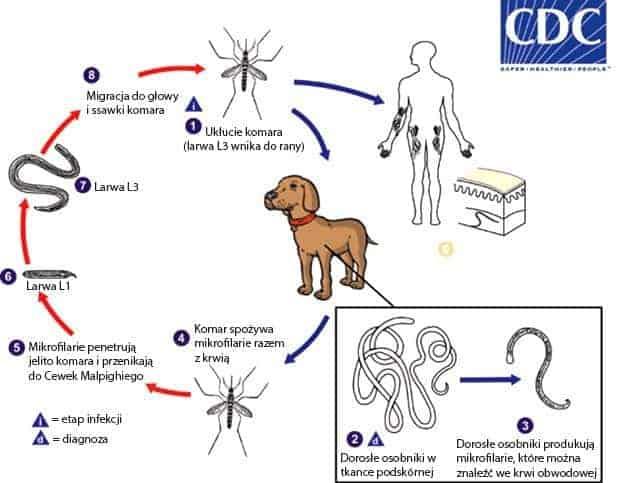 Dirofilaria repens zakażenie i cykl życiowy