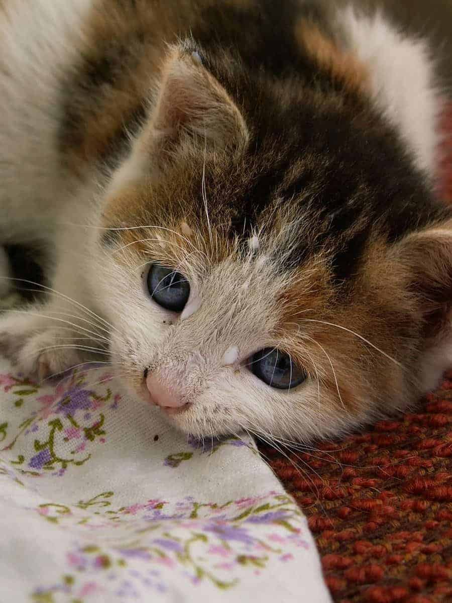 Jak rozwija się koci tyfus?