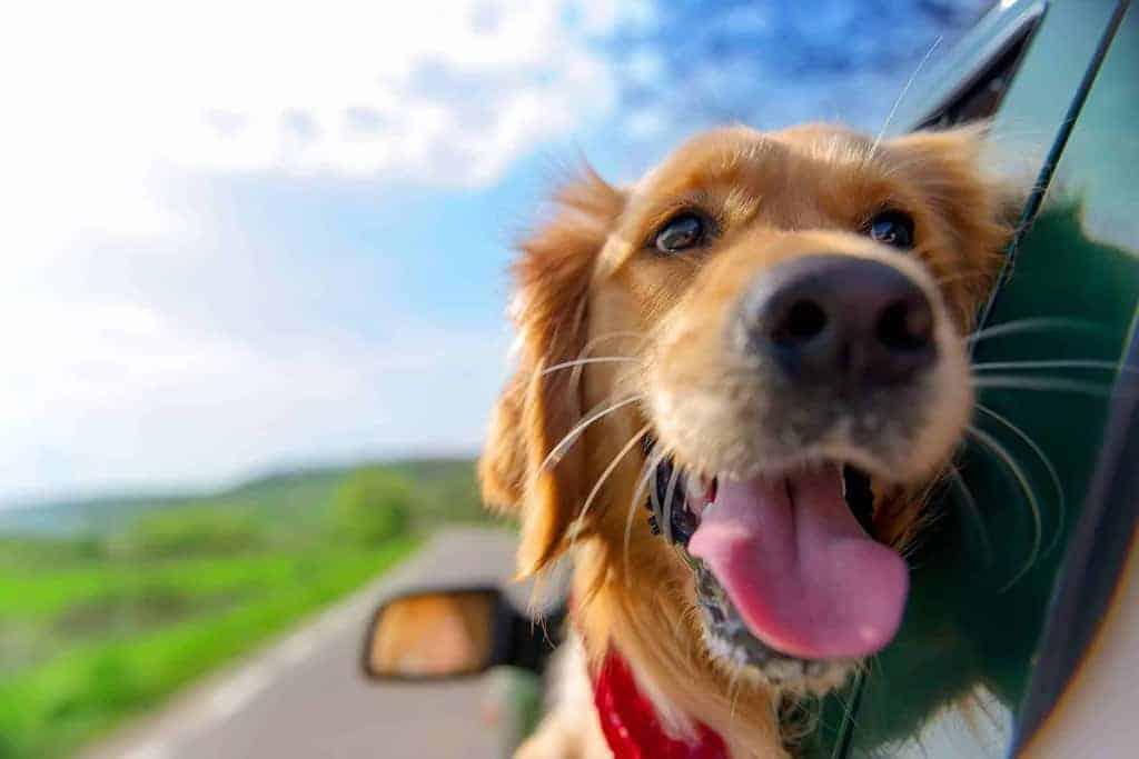 Jazda samochodem z psem