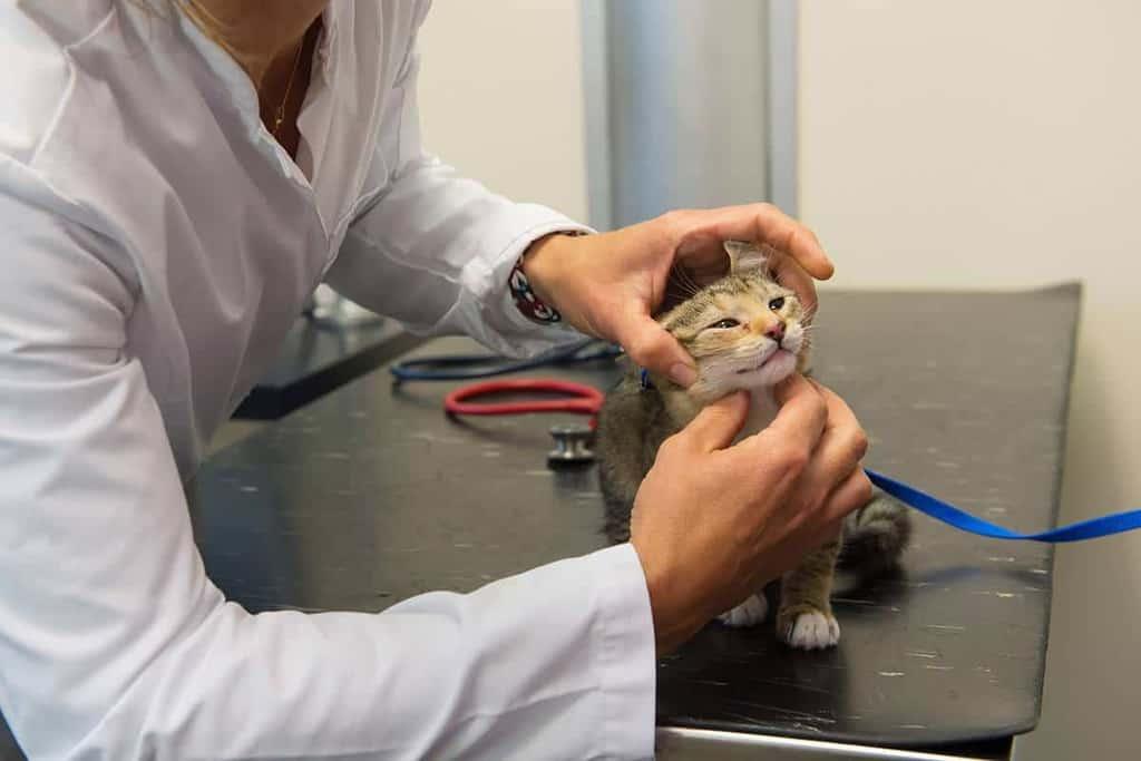 Panleukopenia kotów diagnostyka