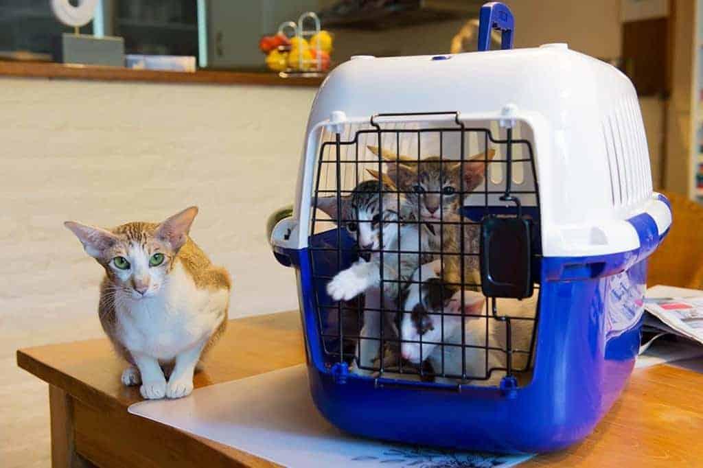 FIP u kota objawy