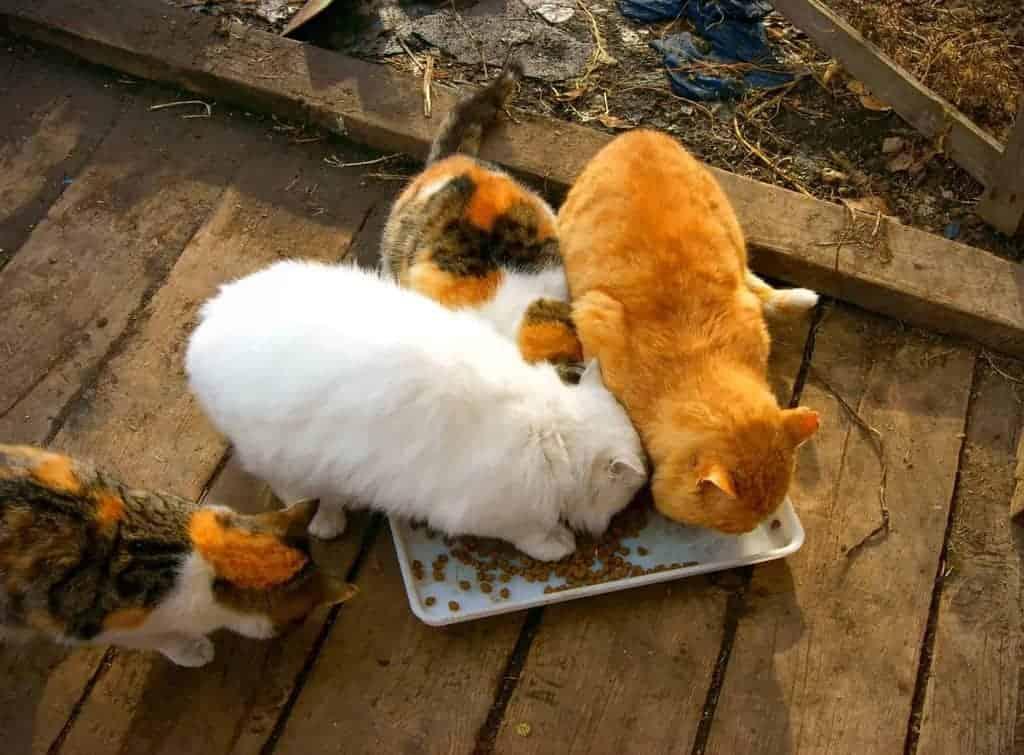 Zakaźne zapalenie otrzewnej kotów - jak dochodzi do zakażenia?