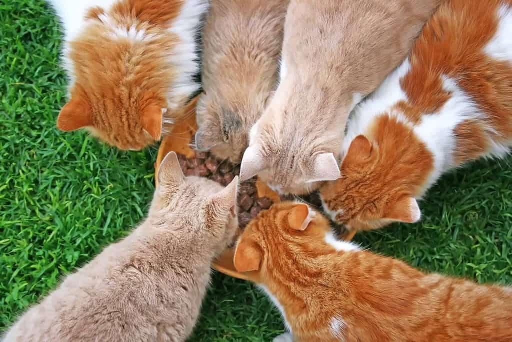 Jak kot może zarazić się felv
