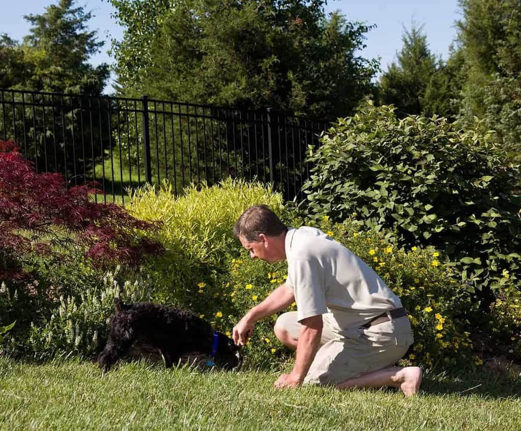 Pies je trawę i wymiotuje