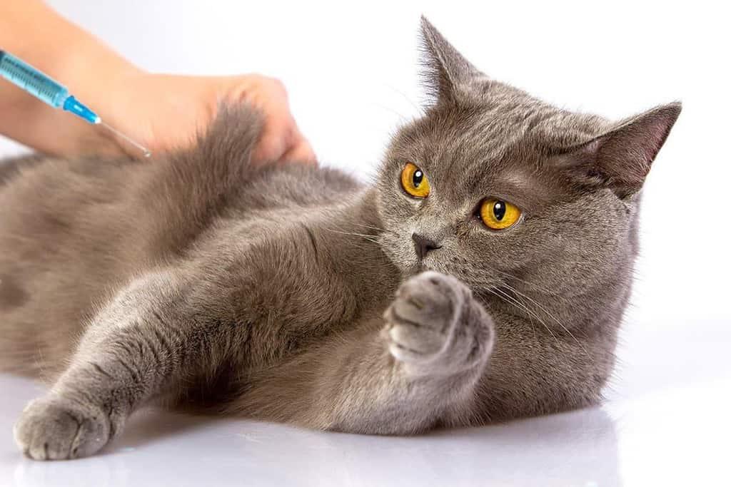 Przy szczepieniu kotów ważne jest miejsce podania zastrzyku