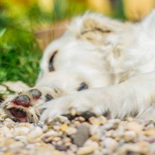 Pękające poduszki u psa