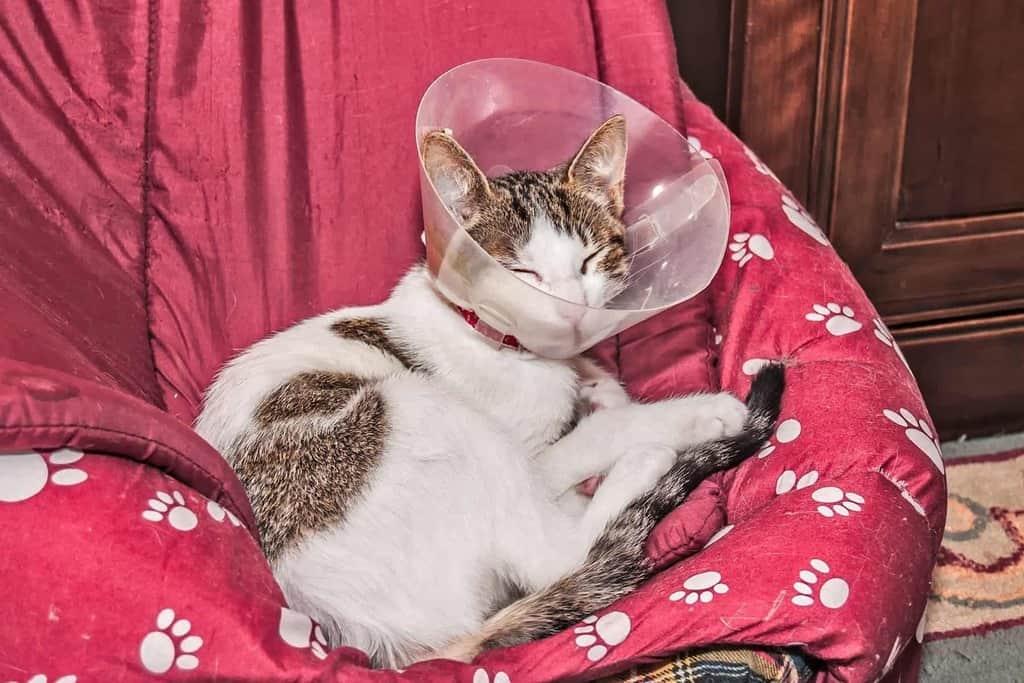 Zabieg chirurgiczny u kota seniora