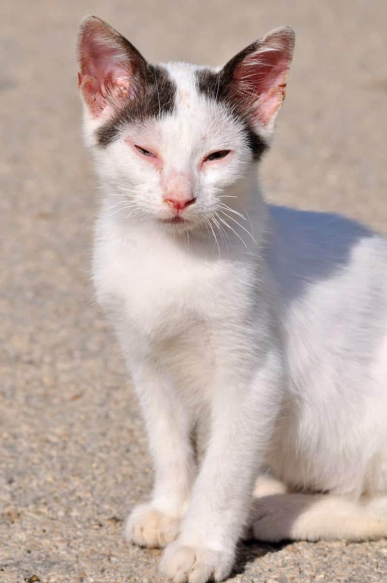 Szczepienie kota skutki uboczne