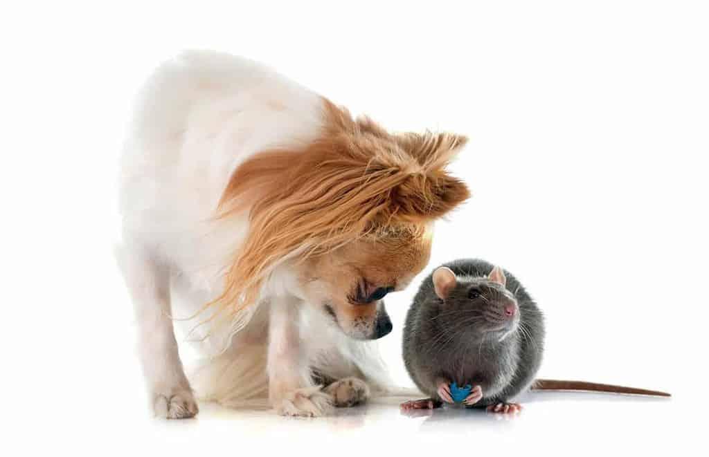 Zatrucie psa trutką na szczury