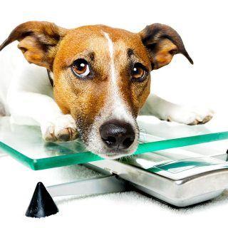 Co to jest otyłość u psa?