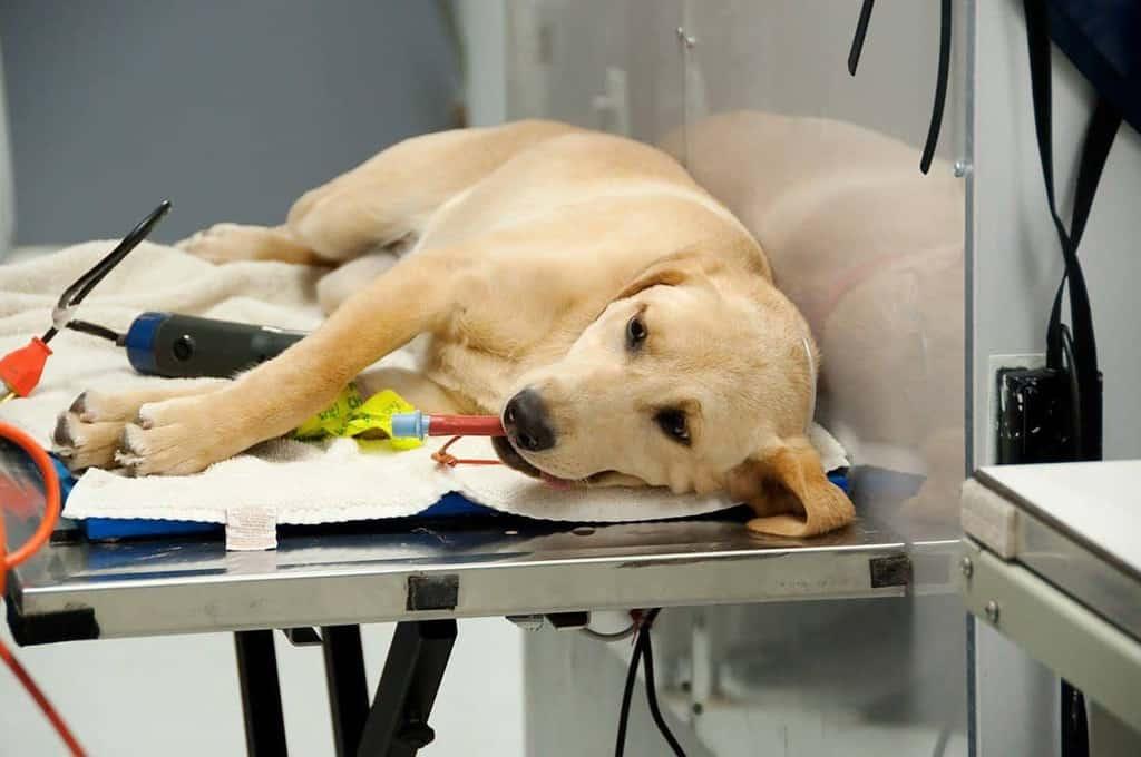 Operacja na dysplazję psa
