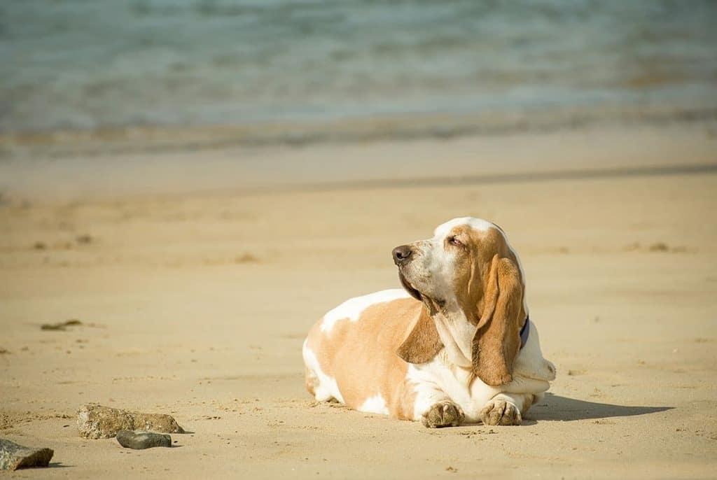 Czynniki sprzyjające otyłości u psa - rasa