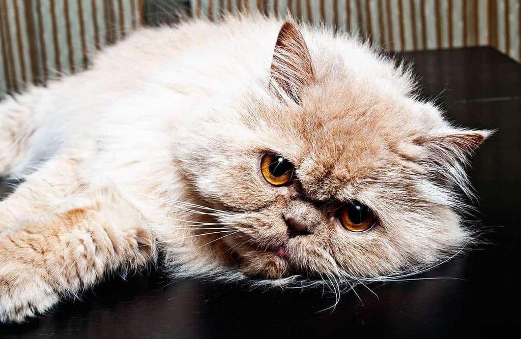 Przyczyny zapalenie płuc u kotów