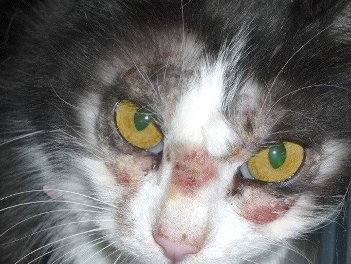 Grzybica na głowie kota
