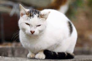 Jak leczyć niewydolność nerek u kota?