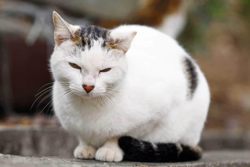 Niewydolność nerek u kota