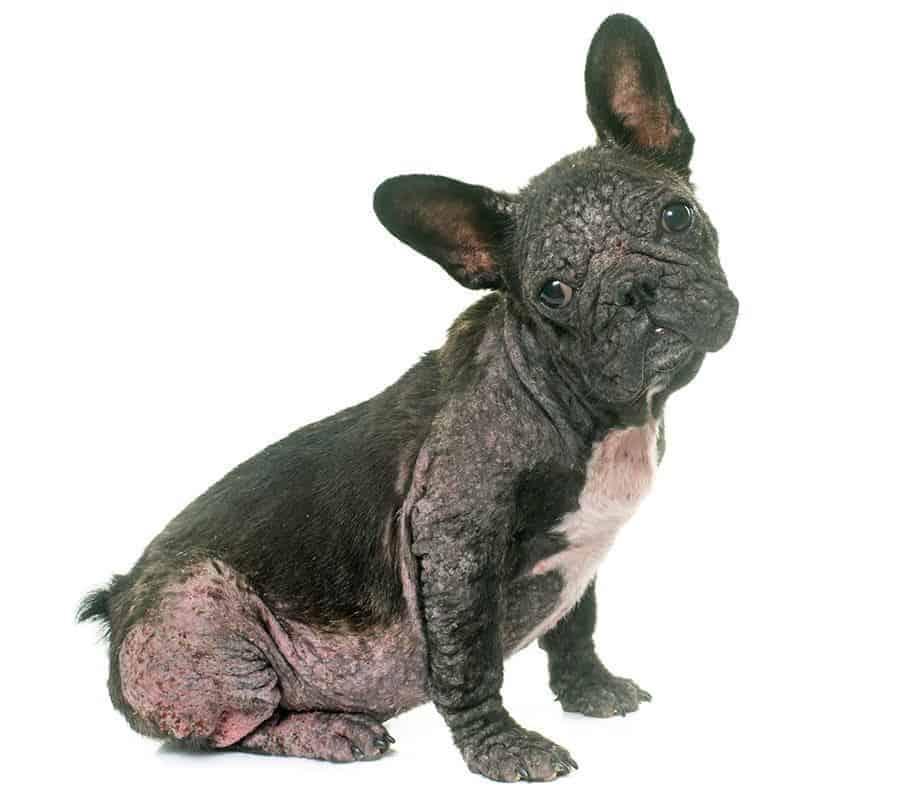 Nużyca u psa zdjęcia