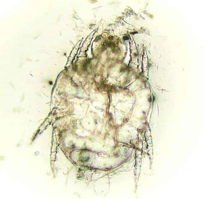 Roztocza cheyletiella - łupież wędrujacy | Źródło: Wikipedia