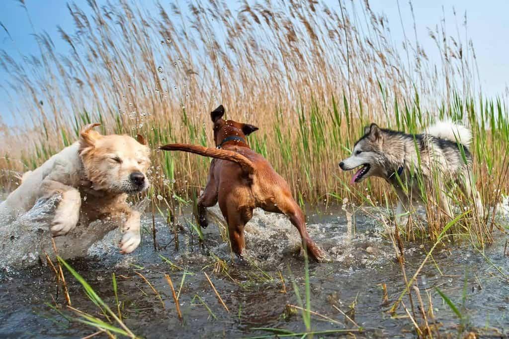 Leptospiroza u psa: objawy, leczenie i zapobieganie