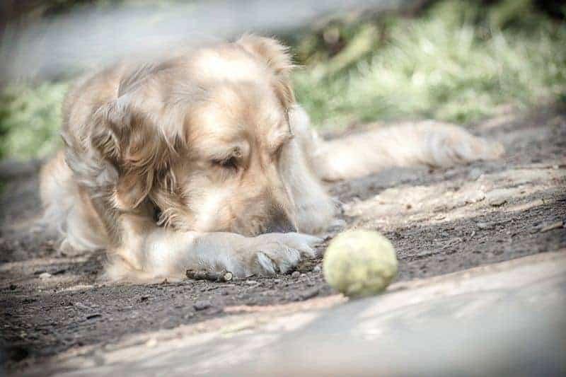 Leptospiroza u psa objawy