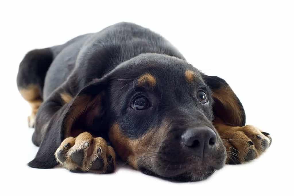 Które psy są najbardziej narażone na parwowirozę?