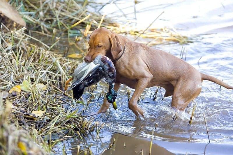 Na krętkowicę bardziej narażone są psy myśliwskie