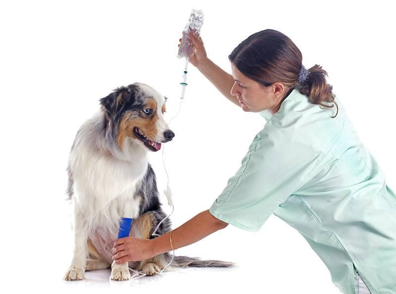 Leptospiroza u psa leczenie