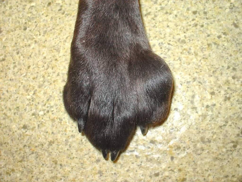 Mastocytoma skórna u psa zdjęcie guza na łapie