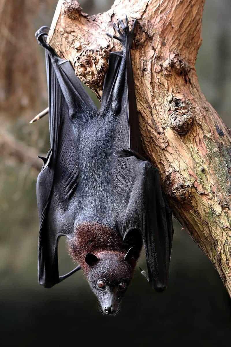 Nietoperze są jednymi z najczęstszych roznosicieli wścieklizny