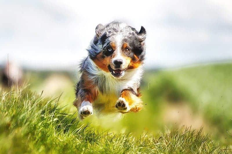 Przyczyny zwyrodnień stawów u psów