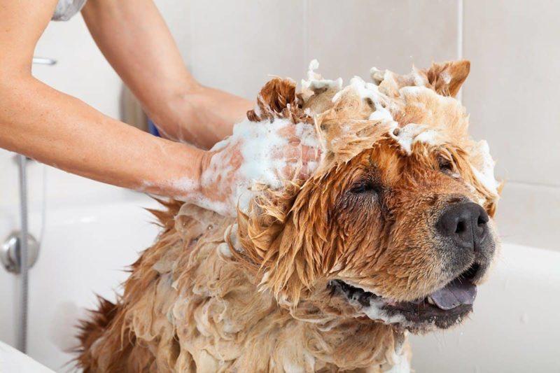 Łupież u psa: co go powoduje i co stosować na łupież?