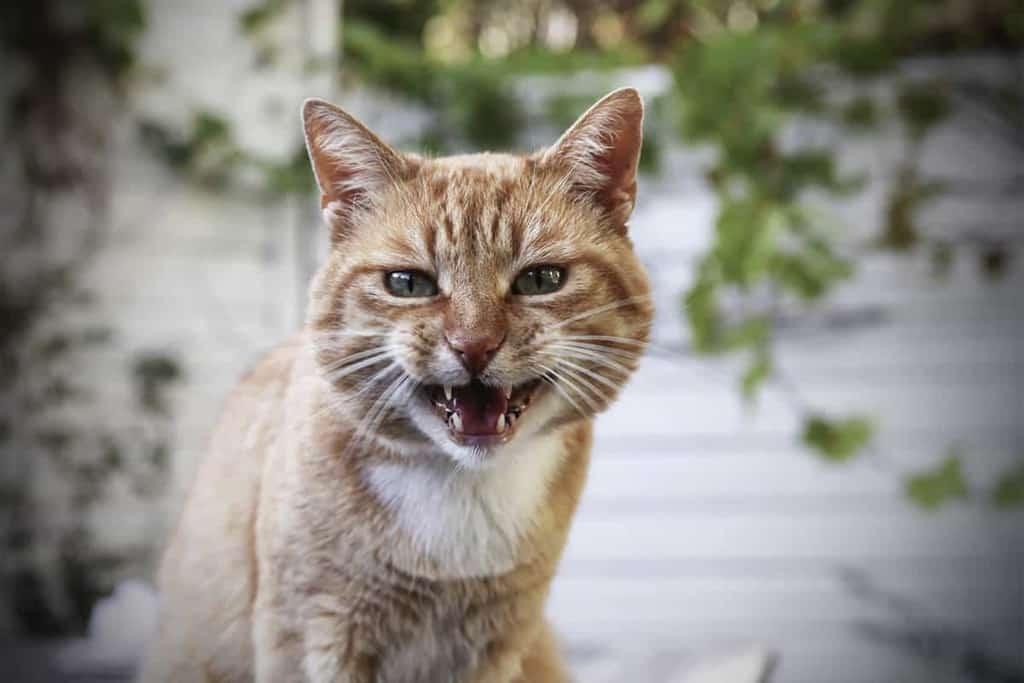 Wścieklizna u kota objawy