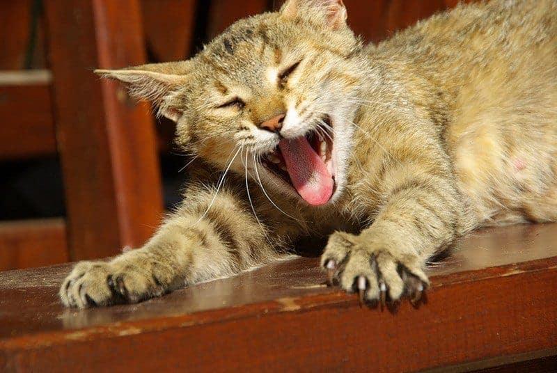 Jak złagodzić objawy rui u kota?
